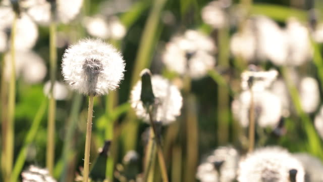 dandelion being blown by wind at sunset - hay fever stock videos and b-roll footage
