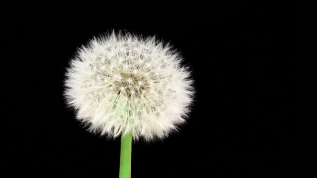 dandelion blooming macro 4k - dandelion stock videos & royalty-free footage