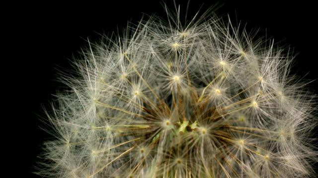 Dandelion blooming macro 4K