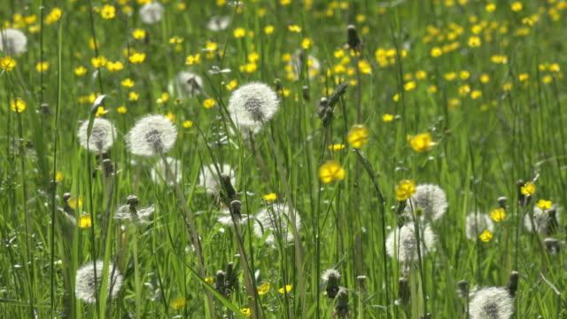 ZO / Dandelion blow-ball in a spring meadow