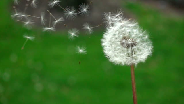 CU SLO MO Dandelion blowing in nature Chicago, USA