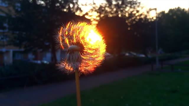dandelion blown in the wind. - ethereal stock videos and b-roll footage