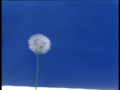 dandelion clock moving in breeze releasing seeds in front of blue screen - chroma key stock videos & royalty-free footage