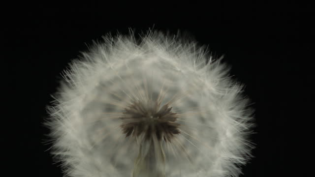 dandelion clock seeds dispersing against black, close up - plant pod stock videos & royalty-free footage