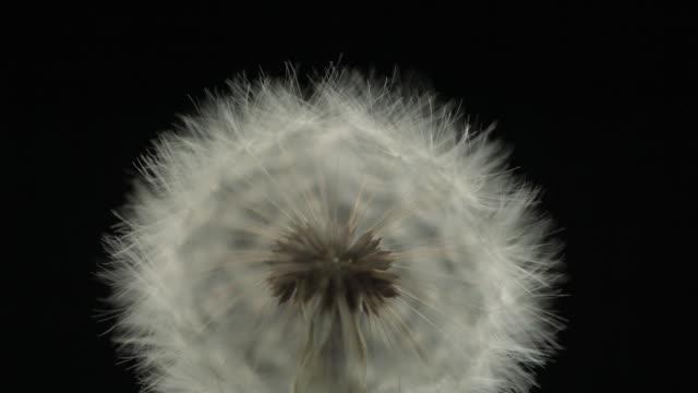 dandelion clock seeds dispersing against black, close up - dandelion stock videos & royalty-free footage
