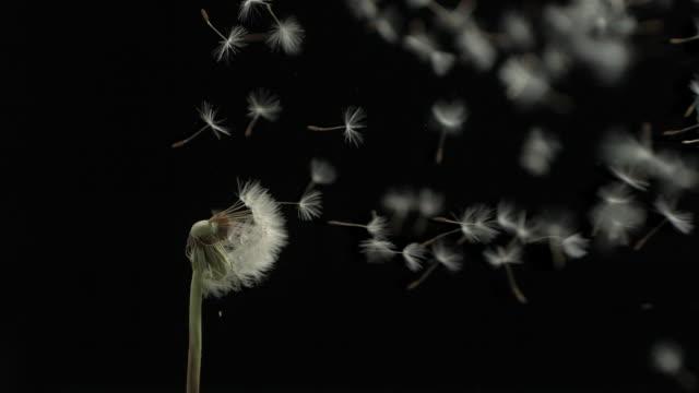 dandelion clock seeds dispersing against black; good shot - dandelion stock videos & royalty-free footage
