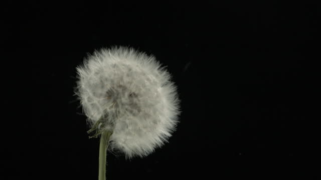 Dandelion clock seeds dispersing against black