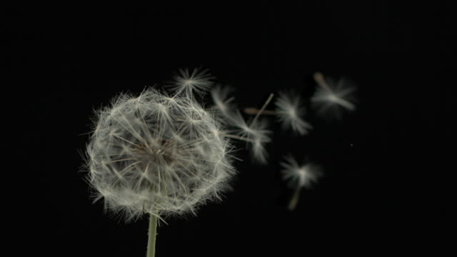 Dandelion clock seeds dispersing against black