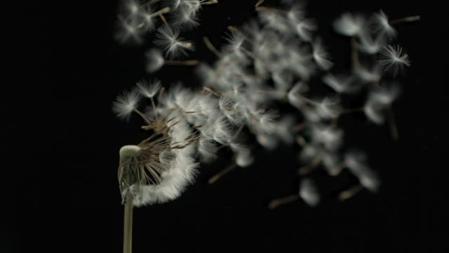 dandelion clock seeds dispersing against black - plant pod stock videos & royalty-free footage