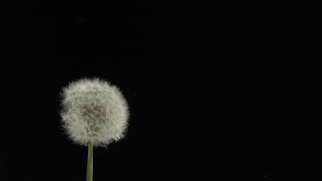 dandelion clock seeds dispersing against black - dandelion stock videos & royalty-free footage