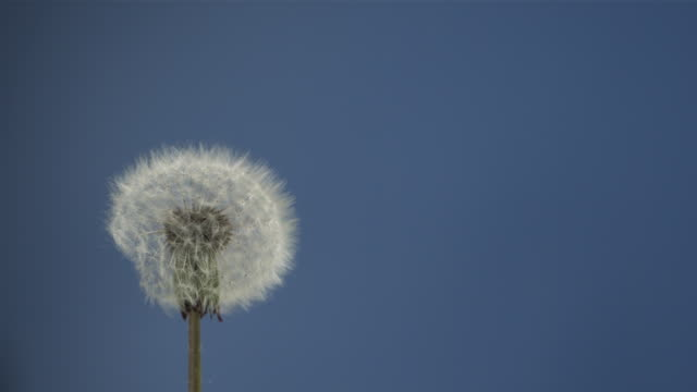 Dandelion clock seeds dispersing against blue screen