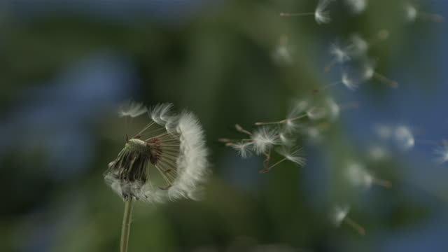 Dandelion clock seeds dispersing against natural background