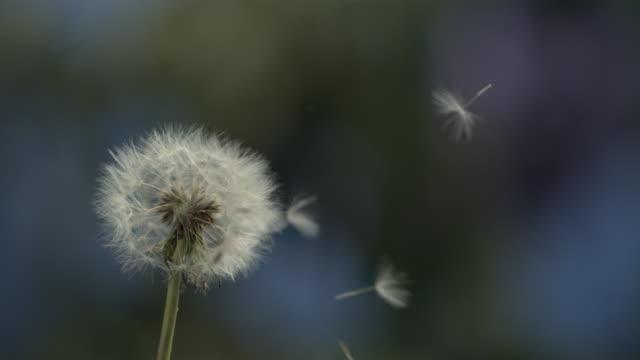 dandelion clock seeds dispersing against natural background - dandelion stock videos & royalty-free footage