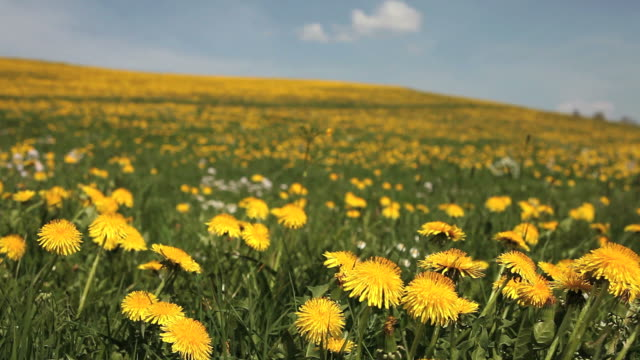 dandelion field in spring - anhöhe stock videos & royalty-free footage