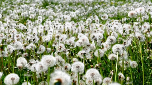 dandelion fields full of blossoming flowers - wildflower stock videos & royalty-free footage
