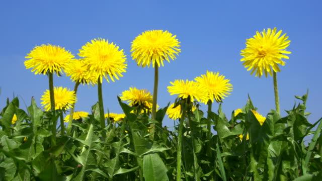 Dandelion (Taraxacum officinale) flower against clear blue sky. Bavaria, Germany.