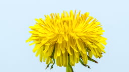 Dandelion flower blooming in a time lapse Hd 1080 video. Common dandelion, Taraxacum officinale growing in motion.