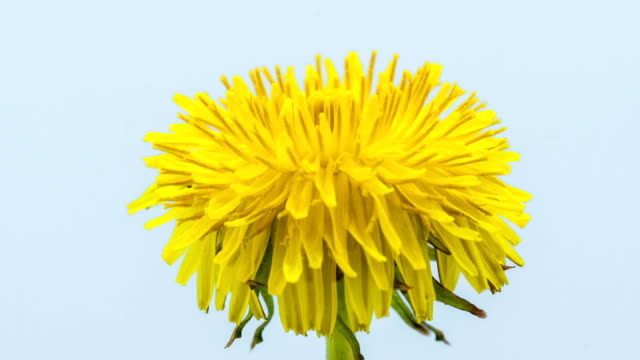 dandelion flower blooming in a time lapse hd 1080 video. common dandelion, taraxacum officinale growing in motion. - yellow stock videos & royalty-free footage