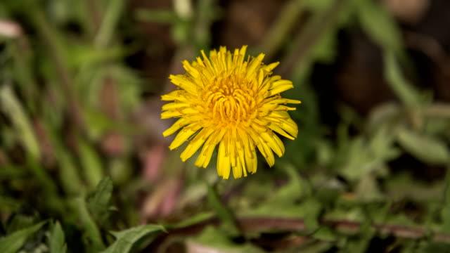 dandelion flower blooming in reverse - wildblume stock-videos und b-roll-filmmaterial