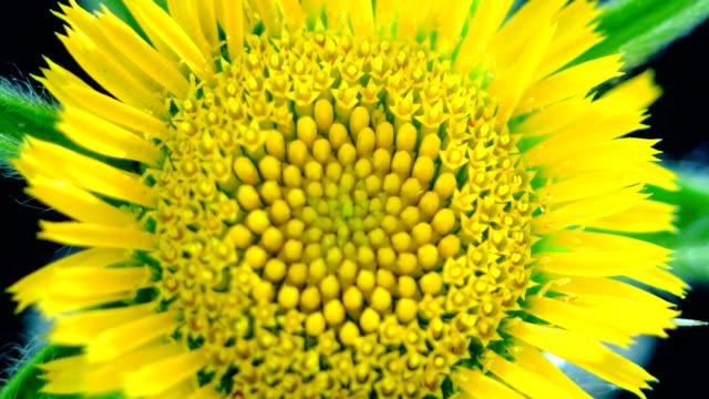 vidéos et rushes de fleur de pissenlit fleurissant - complexité