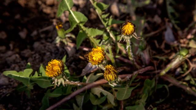 vídeos de stock e filmes b-roll de dandelion flower blooming - estame