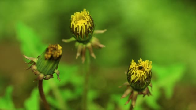 stockvideo's en b-roll-footage met dandelion flower buds blooming, gangwon province, south korea - documentairebeeld