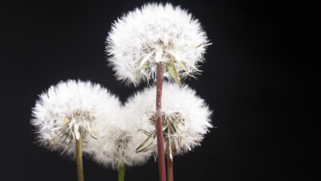 vídeos de stock e filmes b-roll de dandelion (taraxacum) flowers blooming and scattering its seeds in spring. - relva