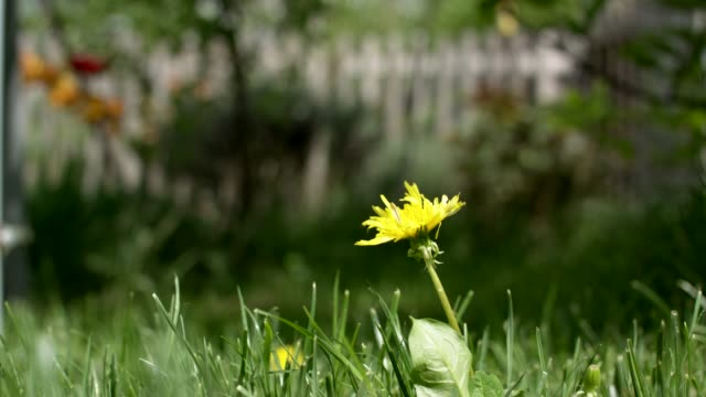 dandelion in a german garden - prato rasato video stock e b–roll