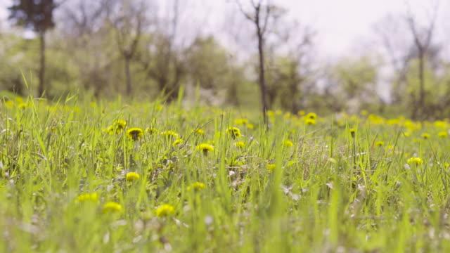 Paardebloem in veld
