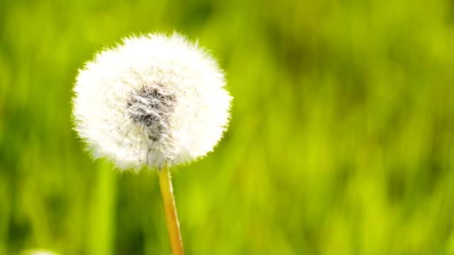 たんぽぽの草地 - 自生点の映像素材/bロール