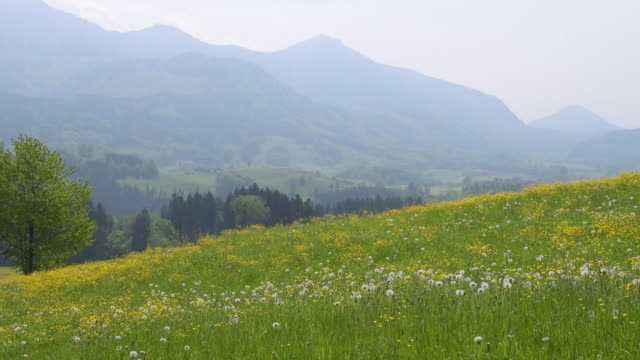 Dandelion meadow and chiemgauer alps