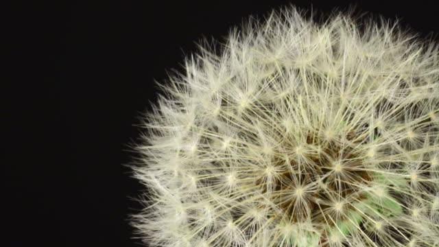 dandelion opening hd - dandelion stock videos & royalty-free footage