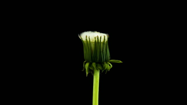 dandelion seed blooming - dandelion stock videos & royalty-free footage