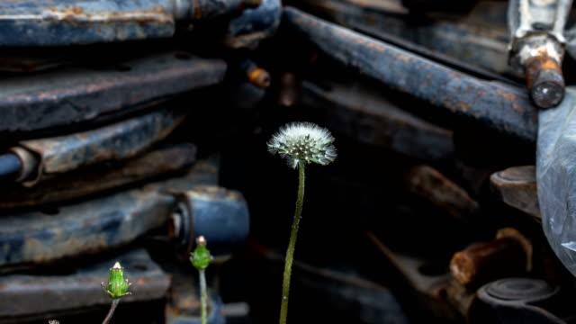 dandelion seed head opening and blowing away - dandelion stock videos & royalty-free footage