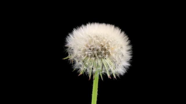 dandelion seed head opening, timelapse - dandelion stock videos & royalty-free footage