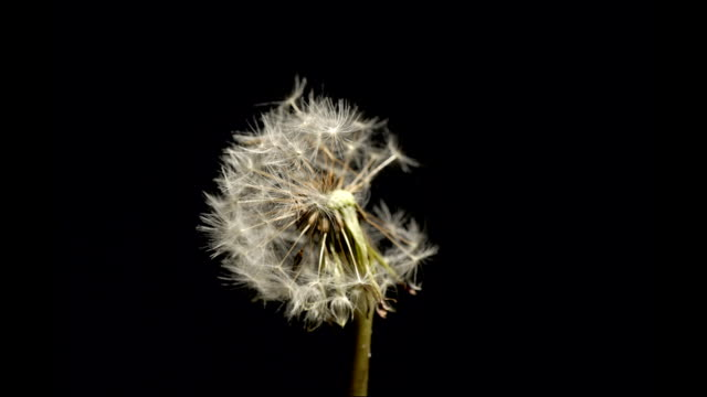 dandelion seedhead blowing, timelapse - plant pod stock videos & royalty-free footage