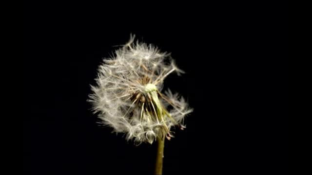 Dandelion seedhead blowing, timelapse