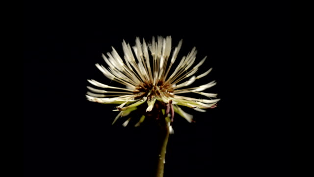 dandelion seedhead maturing, timelapse - botany stock videos & royalty-free footage