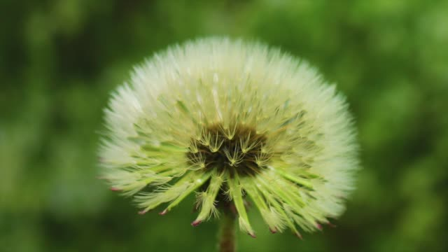 dandelion seeds blooming, gangwon province, south korea - 記錄片鏡頭 個影片檔及 b 捲影像