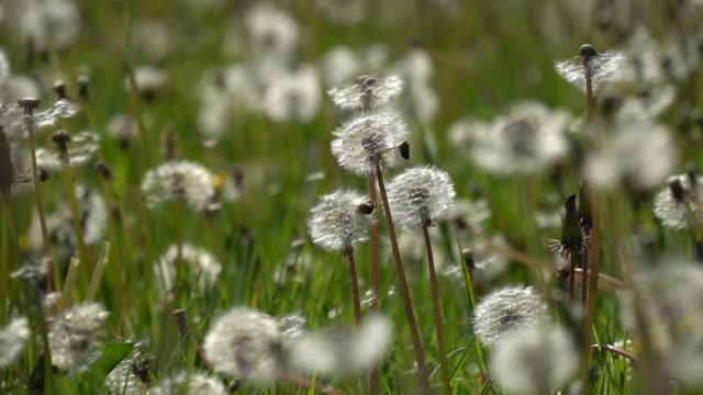 dandelion seeds blow in the wind in a cheshire field on may 13 2019 in knutsford england - dente di leone video stock e b–roll