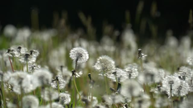 dandelion seeds blow in the wind in a cheshire field on may 13 2019 in knutsford england - blowing stock videos & royalty-free footage