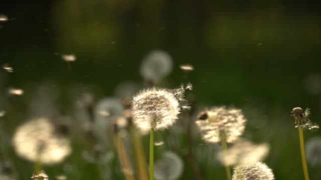dandelion seeds blow in the wind in a cheshire field on may 13, 2019 in knutsford, england. - blowing stock videos & royalty-free footage
