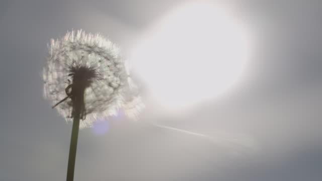 Dandelion seeds blown away in sunlight