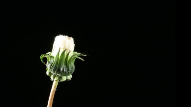 dandelion seeds opening - floral pattern stock videos & royalty-free footage