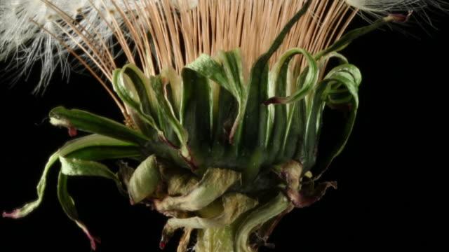 Dandelion seeds opening