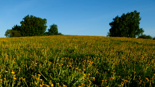 dandelion time lapse - open field stock videos & royalty-free footage
