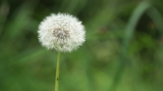 dandelion under green of grass - allergy stock videos and b-roll footage