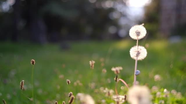 dandelion - mollusco video stock e b–roll