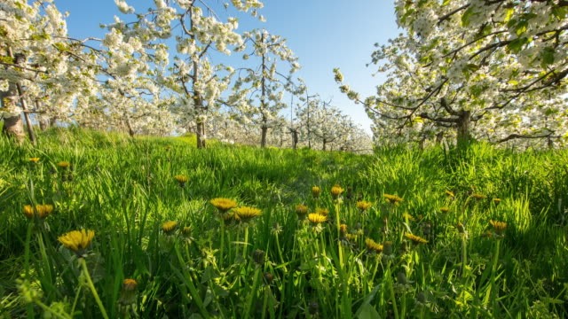 t/l dandelions and blooming cherry trees - slovenia meadow stock videos & royalty-free footage