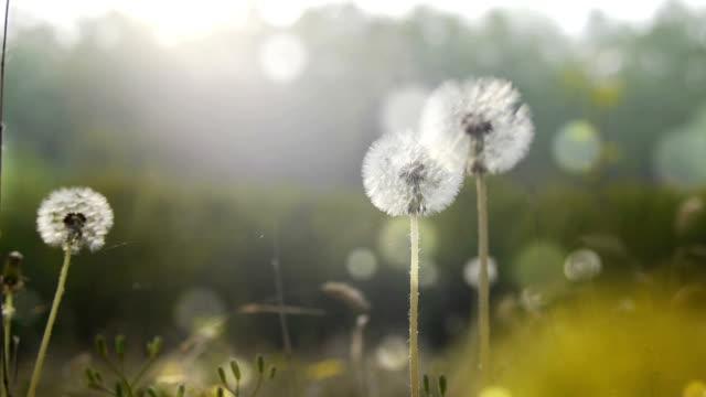 dandelions in the spring - dandelion stock videos & royalty-free footage